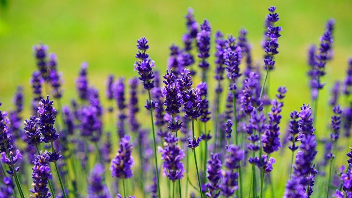 Image result for bunga lavender