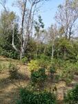 Murah Kebun Manggis & Cengkeh Produktif Pinggir Jalan Desa di Kiarapedes Purwakarta