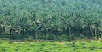 Kelapa sawit di Sukabumi cikidang