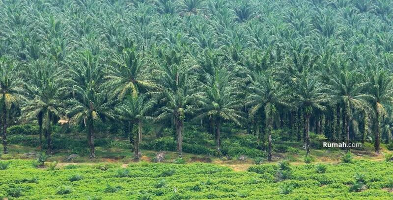 Kelapa sawit di Sukabumi cikidang Geopark #93859174
