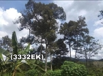 Lahan Kebun Durian Pangkalan Baru Bangka Tengah