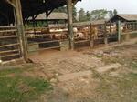 Dijual Peternakan Sapi Lebak Banten