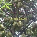 Miliki kavling kebun Durian Bawor investasi menguntungkan cepat pengembalian modal hanya di Jasinga
